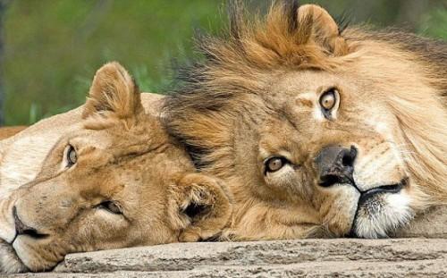 Ariarosa_Coppia di leoni